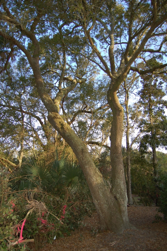 Back yard Ugly-agnus and beautiful 250+ year old Live Oak